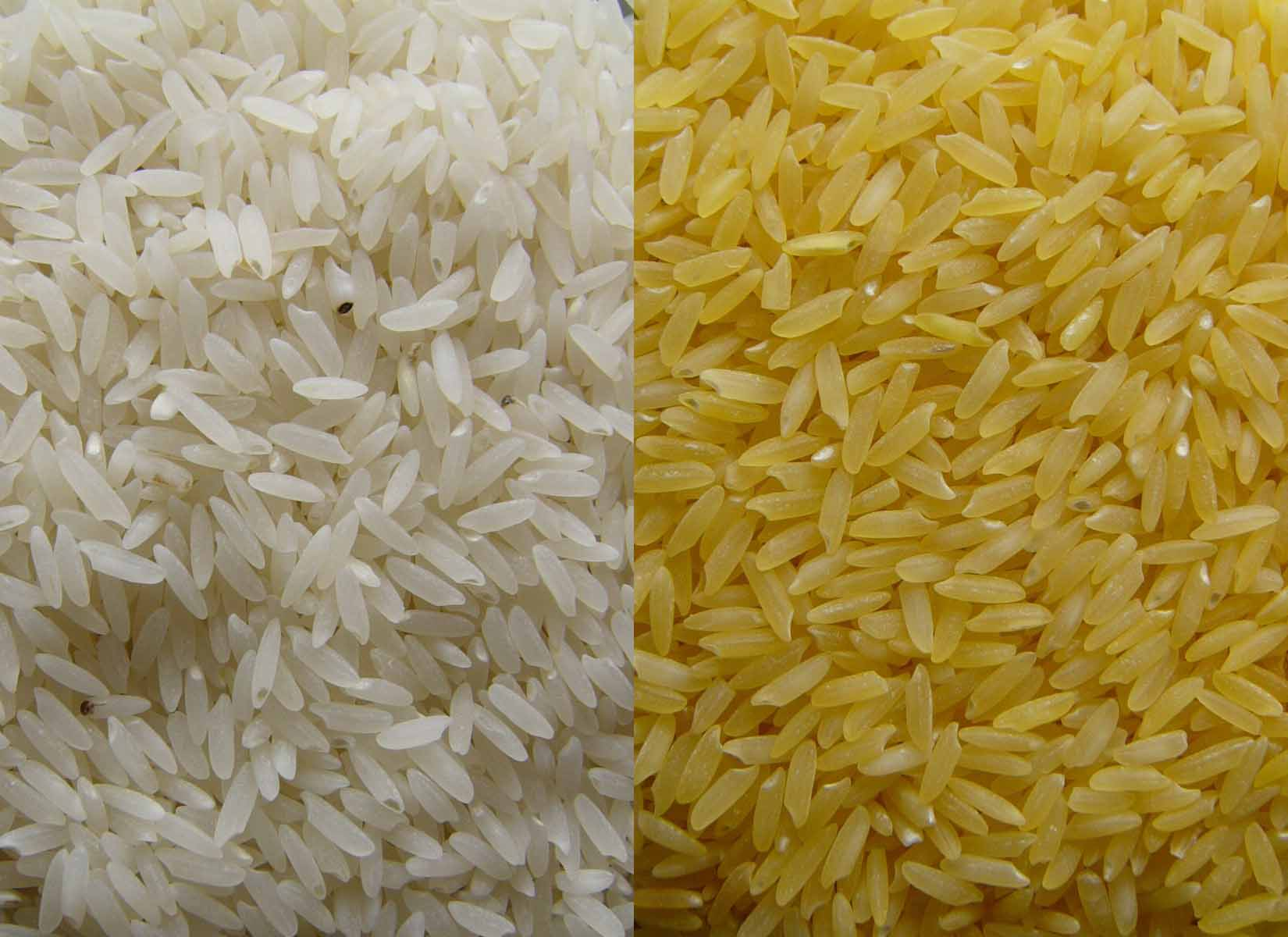 NCRI set to begin trials for modified rice seeds