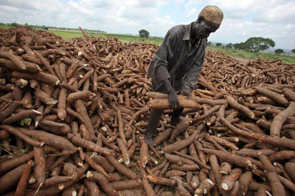 FG to develop Hybrid seeds from Cassava