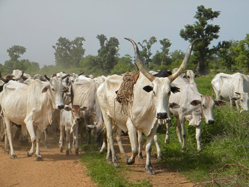 Herdsmen, cattle rustlers turn in arms, light weapons