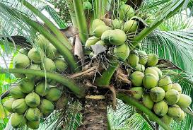 Coconut farming as huge forex earner