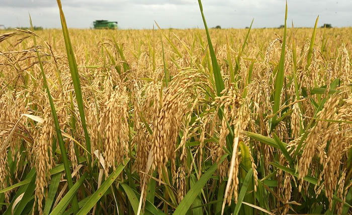 Agriculture : FG disburses $7.4m to rice farmers