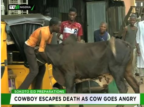 Cowboy escapes death as cow goes angry
