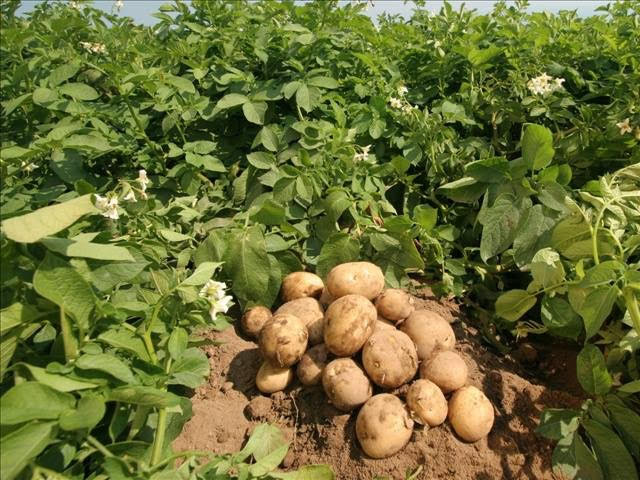Agriculture : Nigeria borrows N3.38bn to aid potato production