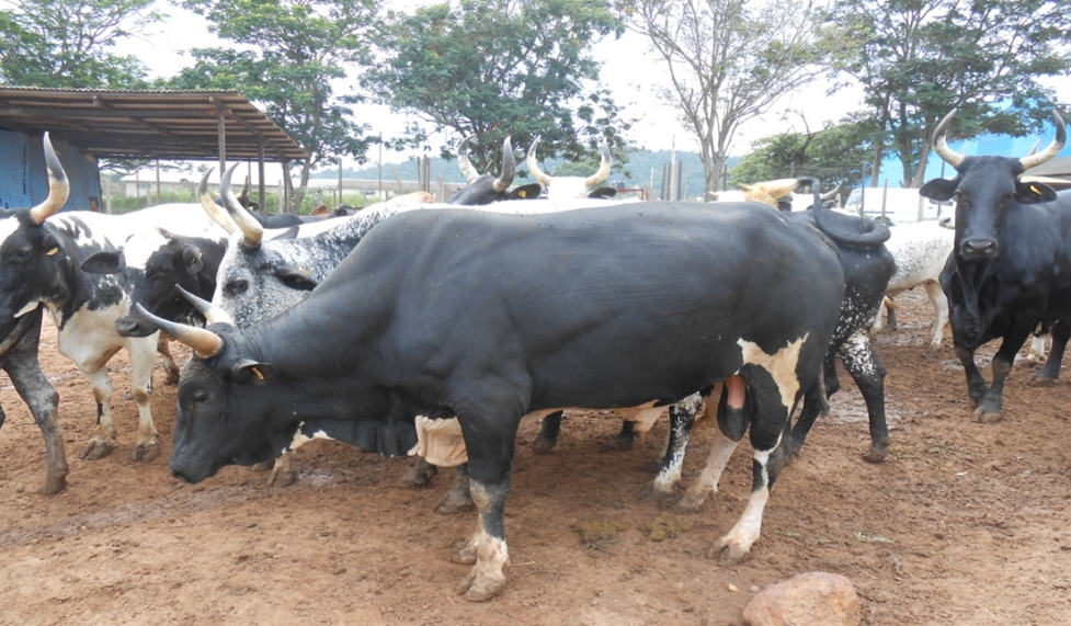 NIRSAL flags off new techniques for livestock farmers in Adamawa State