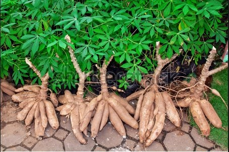 Nigeria loses billions of naira due to shortages of cassava plantation