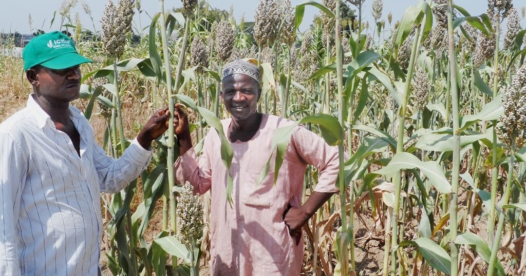 Image result for sorghum in nigeria