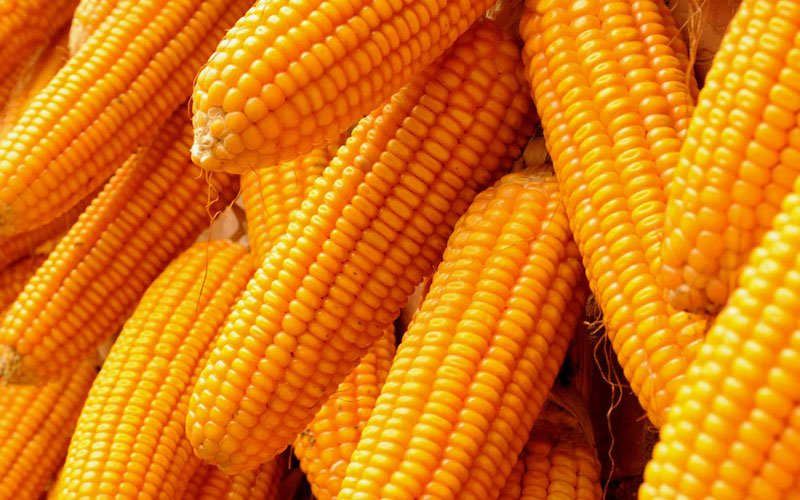 Farmers decry glut of imported maize in Nigeria