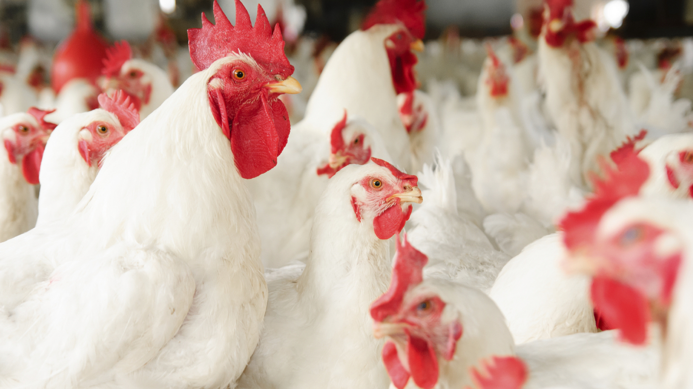 U.S. faces oversupply of antibiotic-free chicken – Sanderson Farms