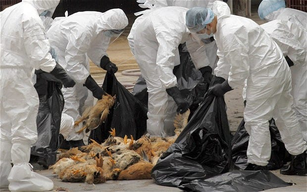 Nigerian citizens at risk of Avian Flu – FAO