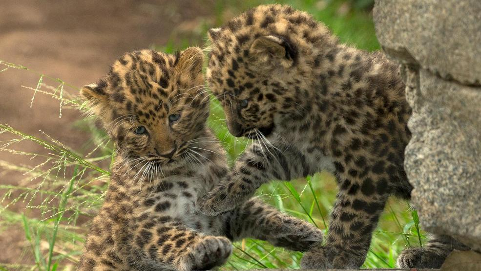 San Diego Zoo shows off Amur Leopard cubs