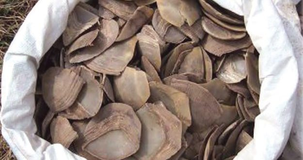 Customs seizes 738kg Pangloin shells from Chinese apartment