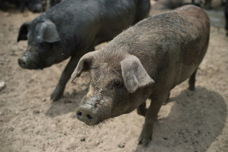 China culls 14,500 hogs after African swine fever outbreak