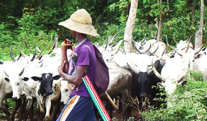 Eight killed, 310 cows rustled in Plateau state