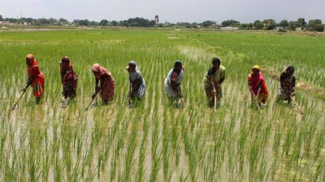 8,000 rice farmers benefit from Anchor borrower scheme in Kebbi