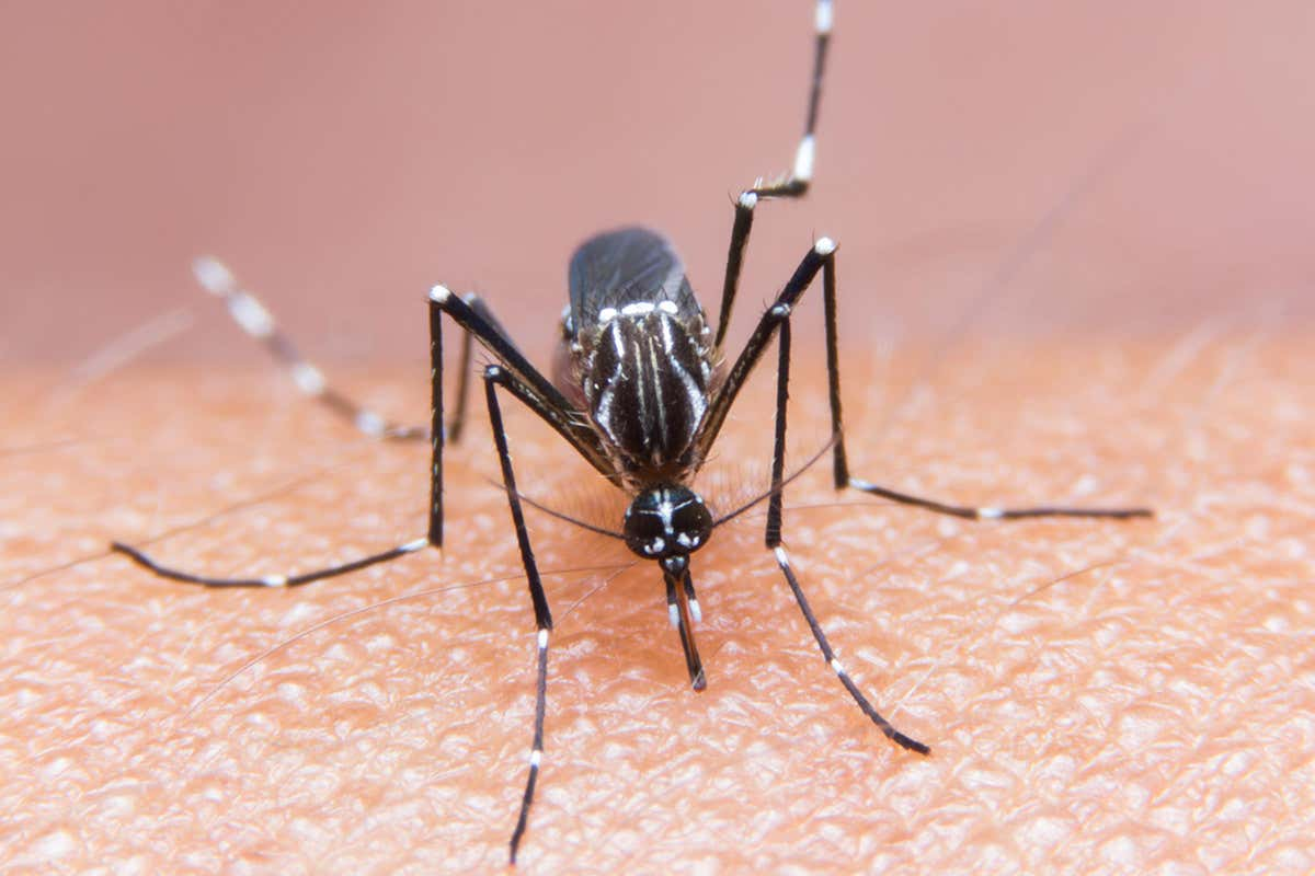 Skin cream applied to mosquito bites stops viruses infecting mice ...